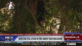 Bear cub still stuck in tree over tiger enclosure at animal sanctuary