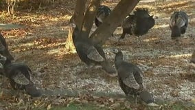 Wild turkeys roam retirement community in New Jersey
