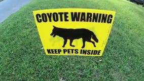 Woman spots three coyotes in College Park, warns neighbors to keep pets safe