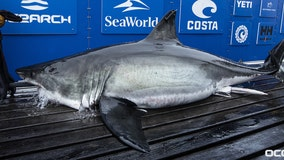 White shark weighing over 1,000 pounds pings off coast of New Smyrna Beach