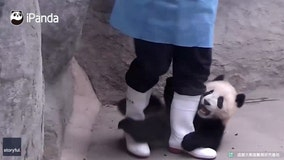 This panda has some serious, and adorable, attachment issues