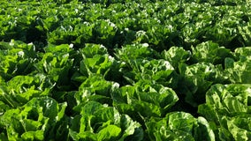 E. coli cases from romaine lettuce grown in California more than double, kidney failure reported