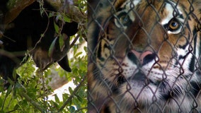 Tigers moved at refuge so wild cub will climb down tree