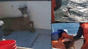 Fisherman 'catches' deer swimming 5 miles off shore