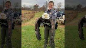 Bald eagle rescued in Missouri after being shot in wing; shooter could face $100G fine