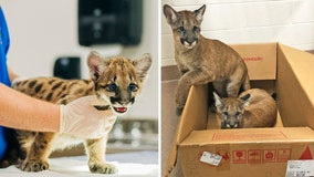 ZooTampa cares for endangered Florida panther kittens whose mom died of neurological disorder