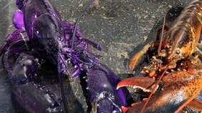 'One-in-a-million' purple lobster fools the internet