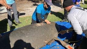 Brevard leads Florida counties in manatee deaths in 2021