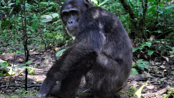 Chimps are killing people in Uganda: 'It broke off the arm... opened the stomach and removed the kidneys'