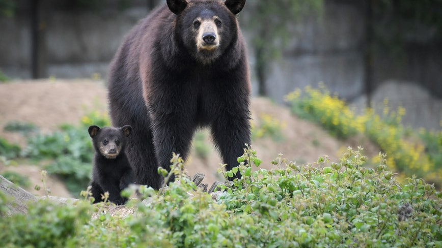 Plan to manage bear population in Florida could still include hunting