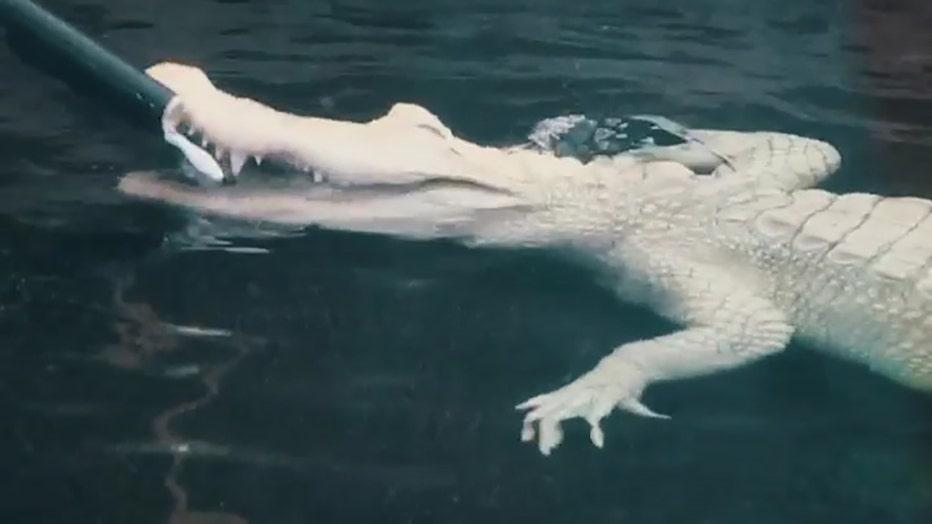 albino-alligator-nc-aquarium-1.jpg