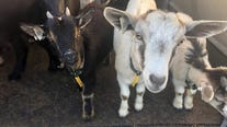 Goats offer alternative lawn care to elementary school in Titusville