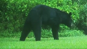 Three-legged black bear spotted in Longwood