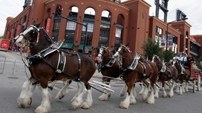 Budweiser Clydesdales to make appearances around Florida next month