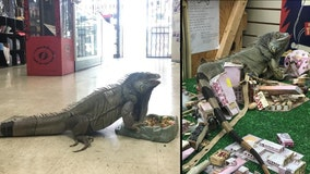 'That's our baby': Smog the 6-foot pet iguana missing, possibly stolen from Florida smoke shop