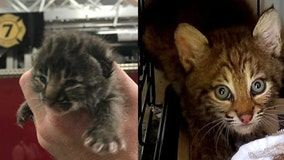 Baby bobcat brought to Orlando fire station is all grown up, released back into the wild