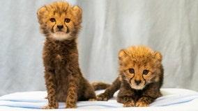 Busch Gardens welcomes 2 new cheetah cubs