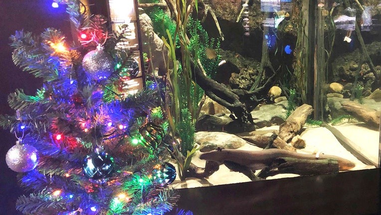 An electric ell named Miguel Wattson lights up a Christmas tree at the Tennessee Aquarium in Chattanooga, Tenn.