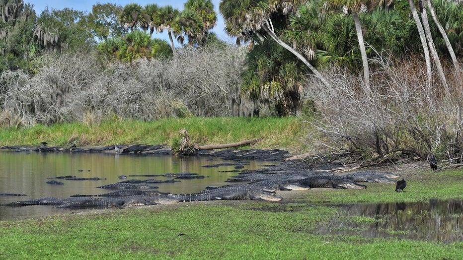 alligators-deep-hole-myakka-miri-hardy-2.jpg