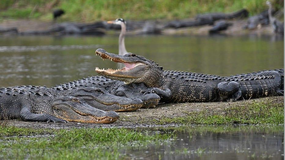 alligators-deep-hole-myakka-miri-hardy-3.jpg