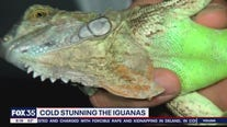Stunned iguanas are actually falling from South Florida trees