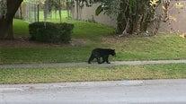 Black bear spotted wandering in Altamonte Springs neighborhood