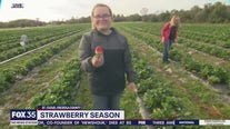 David Does It: Strawberry Picking