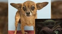 'Baby Yoda' dog up for adoption at Tampa shelter