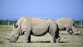 'Amazing': New embryo created of nearly extinct rhino species
