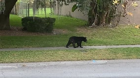 Black bear spotted wandering in Altamonte Springs neighborhood
