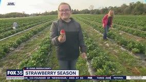 David Does It: Strawberry Picking