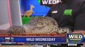 Wild Wednesday: Nile crocodile
