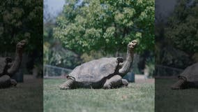 Diego the tortoise retires, high sex drive credited with helping to save his species in the Galapagos, conservancy says