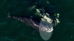 Life-threatening injures to right whale calf likely from propeller; FWC investigates