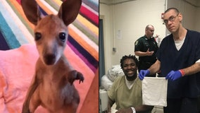 Central Florida inmates sew pouches for orphaned baby kangaroos in Australia
