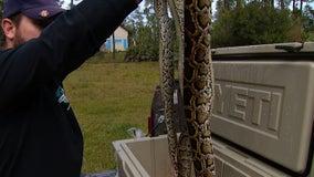 Hunters nab 80 pythons during Everglades Python Bowl