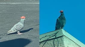 Pigeon dies after having cowboy hat glued on its head, rescue group says