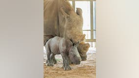 It's a girl! ZooTampa welcomes endangered southern white rhino calf
