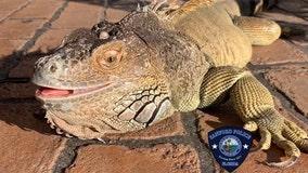 Police: Stolen iguana 'Smog' reunited with owner after tip