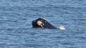 Rare whale sightings of mother, calf off Flagler and Volusia coasts