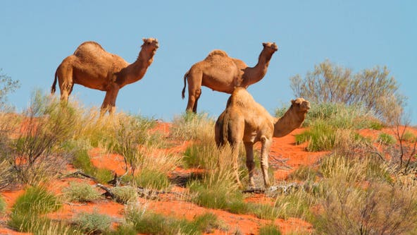 In Australia, more than 5,000 feral camels killed in mass cull