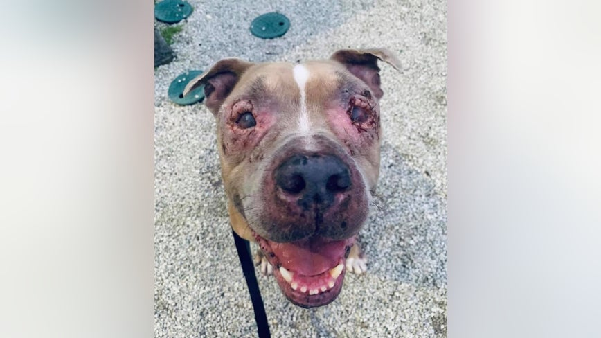 Pit bull with severely scarred eyes looking for new home