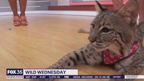 Wild Wednesday: Bobcat