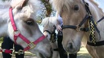 UCF police surprise students with visit from therapy mini-horses