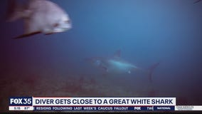 Florida diver gets close to great white shark