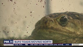 Toxic toads making their way to Central Florida