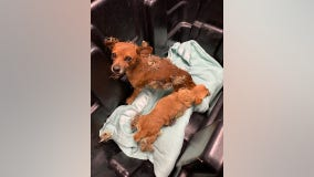 Cactus dogs: 2 Chihuahuas rescued after being found covered in cactus