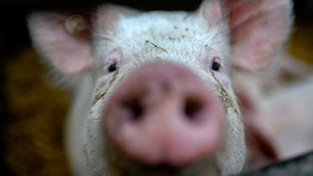 Animal sanctuary looking for volunteers to cuddle pigs