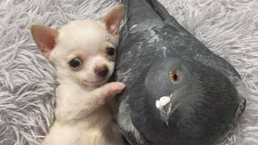 Photos of chihuahua, pigeon cuddling go viral, draw in thousands of donations for non-profit animal rescue