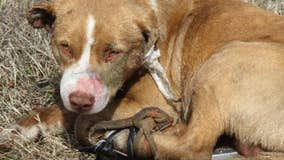 Abandoned dog had glue poured in ears, legs strapped together, shot with BB gun